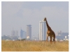 girafe-nairobi